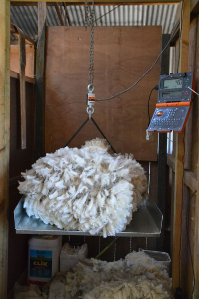 Fairview regularly conducts wool testing on all animals