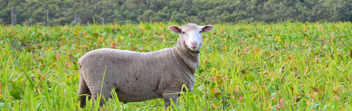 Specialising in grass fed Lamb | Bred and Raised at Yeo